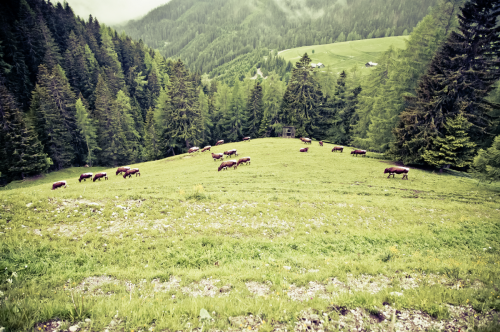 cows on the alps